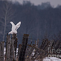 Snowy Wings Up by Cheryl Baxter