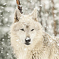 Snowy Wolf by Donna Doherty