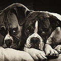 Snuggle Bug Boxer Dogs by Stephanie McDowell