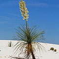 Soap Yucca by Christiane Schulze Art And Photography