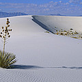 Soaptree Yucca At White Sands Nm by Konrad Wothe