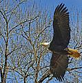 Soaring Bald Eagle by Jack Moskovita