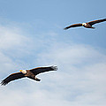 Soaring Bald Eagles by Bill Wakeley