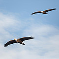 Soaring Bald Eagles Square by Bill Wakeley