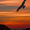 Soaring Bird Of Prey by Daniel Hagerman