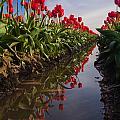 Soaring Crimson Tulips by Mike Reid