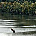 Soaring Eagle by Matt Zerbe