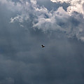 Soaring Gull - Bird Flying In A Cloudy Sky by Leif Sohlman