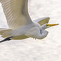 Soaring High Great Egret by Julie Palencia