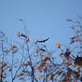 Soaring In Autumn  by Meg Reinink