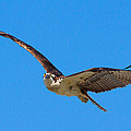 Soaring Osprey by Adam Pender