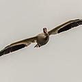 Soaring Pelican by Paul Freidlund