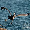 Soaring Pelican by Stephen Whalen