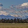 Soaring Skagit Snow Geese by Mike Reid