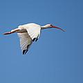 Soaring White Ibis by John M Bailey