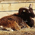 Soay Ram Reclining by Catherine Ali