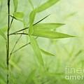 Soft Bamboo by Priska Wettstein
