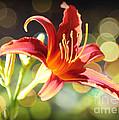 Soft Daylily by Carol Groenen