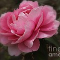 Soft Focus Pink by Yumi Johnson