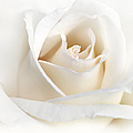 Soft Ivory Rose Flower by Jennie Marie Schell