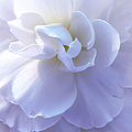 Soft Lavender Begonia Flower by Jennie Marie Schell