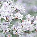 Soft Lavender Dancing Azalea Flowers by Jennie Marie Schell
