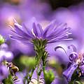 Soft Lilac by Leif Sohlman