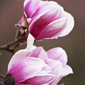 Soft Magnolia Blossoms by Shelly Gunderson