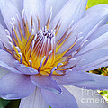 Soft Mauve Waterlily by Kaye Menner