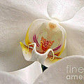 Soft Orchid by Kathi Mirto