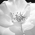 Soft Petal Rose In Black And White by Jennie Marie Schell