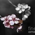 Soft Pink Blossom by Joy Watson