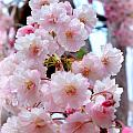 Soft Pink Blossoms by Heidi Manly