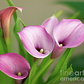 Soft Pink Calla Lilies by Byron Varvarigos