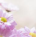 Soft Pink Daisies by Cheryl Baxter