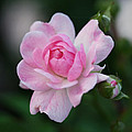 Soft Pink Miniature Rose