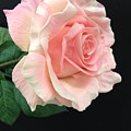 Soft Pink Rose 1 by Jeannie Rhode