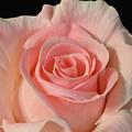 Soft Pink Rose by Jeannie Rhode