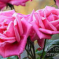 Soft Pink Roses by Carol Groenen