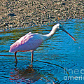 Soft Pink Spoonbill by Stephen Whalen