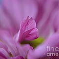 Soft Purple by Michelle Meenawong