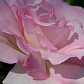 Soft Shade Of Pink by Christiane Schulze Art And Photography