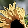 Soft Sunny Sunflower by Eva Kondzialkiewicz