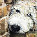 Soft Wheaten Terrier by Natasha Denger