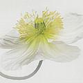 Soft White Poppy
