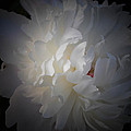 Soft White Peony by Sherman Perry