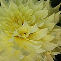 Soft Yellow Dahlia by Christiane Schulze Art And Photography