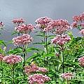Softest Pink by Elizabeth Dow