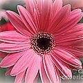 Softly In Pink - Zinnia by Dora Sofia Caputo Photographic Design and Fine Art