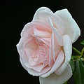 Softly Pink - Rose by Maria Urso